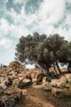 olivier et pierres la vallée des temples agrigento